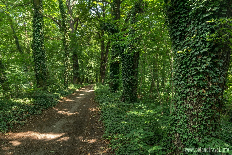 Domaszczyn, droga przez las, duże drzewa porośnięte bluszczem