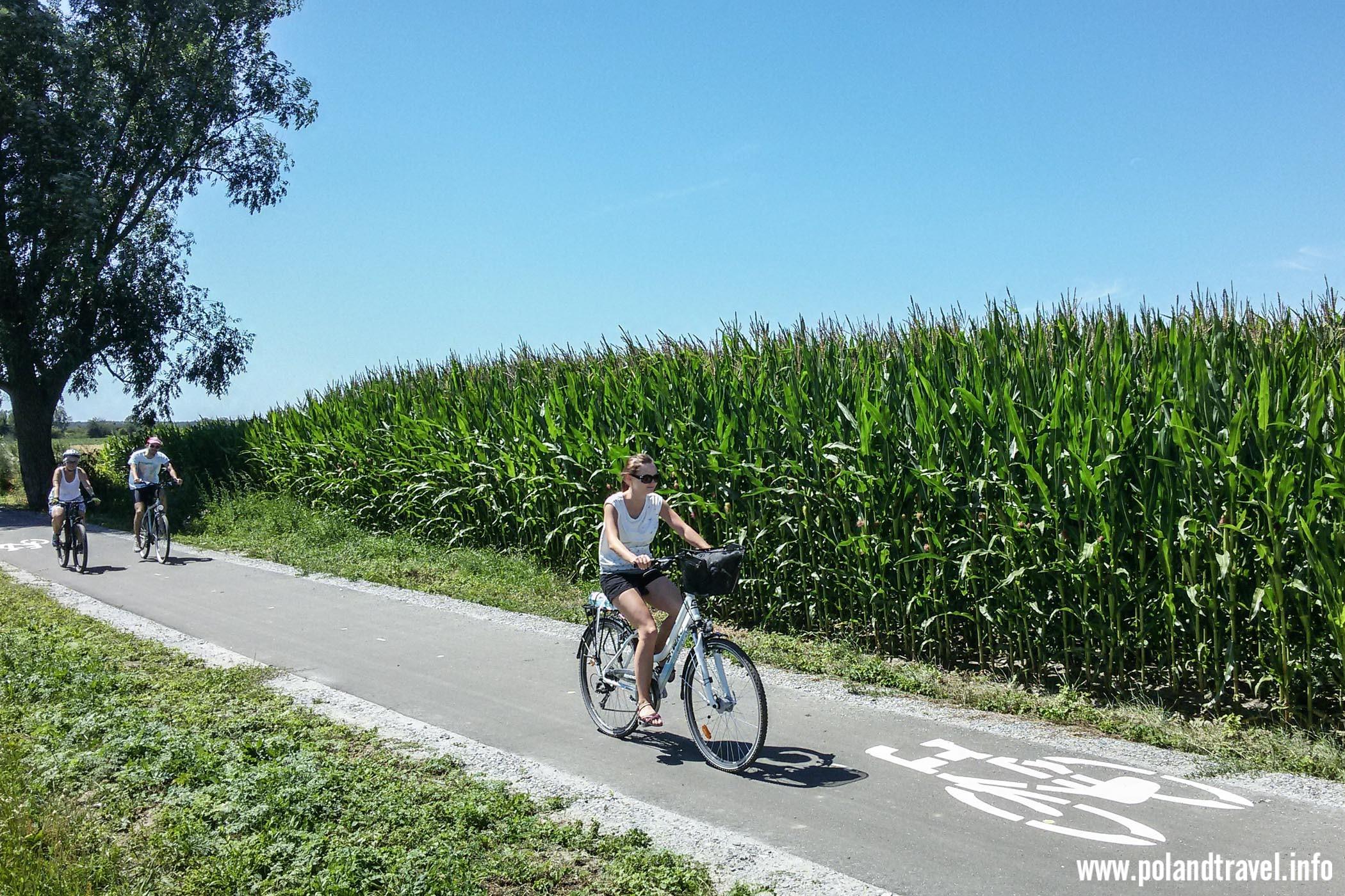 dziewczyna na rowerze jadąca wzdłuż łanu kukurydzy, za nią jeszcze dwójka rowerzystów
